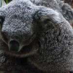 日本国内でコアラが見れる場所は9箇所