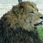 どうして太った野生のライオンがいないのか