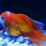 金魚を水槽で飼うには、3つの手順を確実にこなすだけでいい